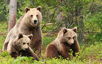 July - Bear Cubs